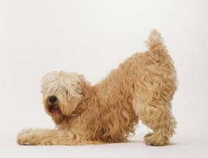 Softcoated Wheaten Terrier (Canis familiaris) standing on hind legs, front legs stretched out to front, head turned towards camera lens, hair covering eyes, side view.